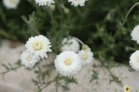 Roman chamomile.jpg